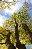 φθινόπωρο τρία δέντρα Στοκ Εικόνες