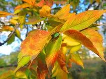 Φθινόπωρο, φωτεινά φύλλα σφενδάμου Στοκ Φωτογραφία