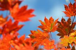 Φθινόπωρο, φύλλα σφενδάμου Στοκ Φωτογραφίες