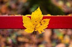 Φθινόπωρο φύλλων σφενδάμου στοκ φωτογραφία