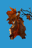 Φθινόπωρο φύλλο-4 Στοκ Φωτογραφία