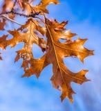 Φθινόπωρο φύλλων πτώσης Στοκ Εικόνες