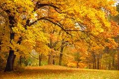 Φθινόπωρο/χρυσά δέντρα σε ένα πάρκο Στοκ Φωτογραφίες