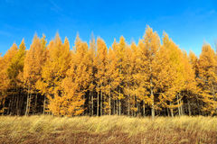 φθινόπωρο χρυσό Στοκ φωτογραφία με δικαίωμα ελεύθερης χρήσης