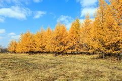 φθινόπωρο χρυσό Στοκ Φωτογραφία