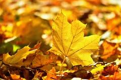 Φθινόπωρο Όμορφα ζωηρόχρωμα φύλλα στα δέντρα στο χρόνο φθινοπώρου Φυσικό εποχιακό υπόβαθρο χρώματος Στοκ Φωτογραφία