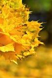 Φθινόπωρο Όμορφα ζωηρόχρωμα φύλλα στα δέντρα στο χρόνο φθινοπώρου Φυσικό εποχιακό υπόβαθρο χρώματος Στοκ εικόνες με δικαίωμα ελεύθερης χρήσης