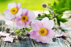 Φθινόπωρο anemones Στοκ Εικόνες