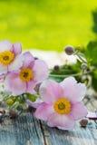 Φθινόπωρο anemones Στοκ Φωτογραφίες