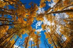 Φθινόπωρο Aspens Στοκ εικόνα με δικαίωμα ελεύθερης χρήσης