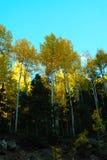 Φθινόπωρο Aspens Στοκ Εικόνα