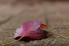 Φθινόπωρο Blooded στοκ εικόνα με δικαίωμα ελεύθερης χρήσης