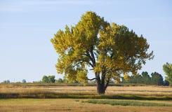 φθινόπωρο cottonwood μεγαλοπρεπέ&si στοκ εικόνες