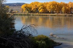 Φθινόπωρο Cottonwoods και ποταμός του Κολοράντο σε Fruita, Κολοράντο Στοκ εικόνα με δικαίωμα ελεύθερης χρήσης