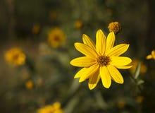 Φθινόπωρο Daisy Στοκ Εικόνα