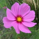 Φθινόπωρο Daisy Στοκ φωτογραφία με δικαίωμα ελεύθερης χρήσης