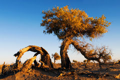 Φθινόπωρο Populus στοκ φωτογραφία με δικαίωμα ελεύθερης χρήσης