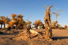 Φθινόπωρο Populus στοκ εικόνες με δικαίωμα ελεύθερης χρήσης
