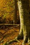 Φθινόπωρο Umbra Foresta, Gargano, Apulia, Ιταλία στοκ εικόνες με δικαίωμα ελεύθερης χρήσης
