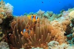 φθορισμού κόκκινο anemone Στοκ εικόνα με δικαίωμα ελεύθερης χρήσης