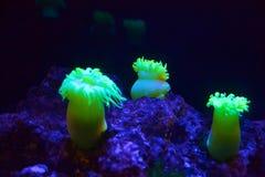 Φθορισμού anemone Στοκ εικόνες με δικαίωμα ελεύθερης χρήσης