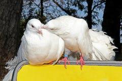 φιλί της άσπρης συνεδρίασης περιστεριών δύο στο κίτρινο οπίσθιο στήριγμα στοκ φωτογραφία με δικαίωμα ελεύθερης χρήσης