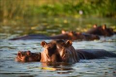 φιλί hippopotamus Στοκ Εικόνες