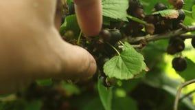 Φιλική προς το περιβάλλον μαύρη σταφίδα η συγκομιδή της μαύρης σταφίδας συλλέγεται από τον αγρότη μάδημα με το χέρι του ώριμου Μα απόθεμα βίντεο