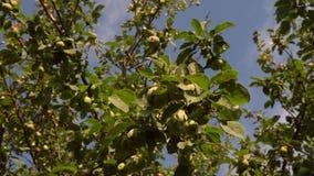 φιλικός εστίασης λιπασμάτων μήλων περιβαλλοντικά που αναπτύσσεται selectuve πράσινο δέντρο μήλων Τα όμορφα μήλα ωριμάζουν σε έναν φιλμ μικρού μήκους