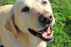Φιλικό retriever του Λαμπραντόρ με ένα χαμόγελο στοκ εικόνα