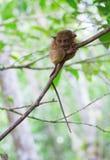 Φιλιππινέζικος πιό tarsier στα δάση Στοκ εικόνα με δικαίωμα ελεύθερης χρήσης