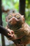 φιλιππινέζικος πιό tarsier Στοκ Εικόνες