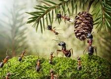 Φιλονικία Camponotus και formica για τον κώνο Στοκ Φωτογραφία