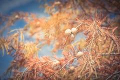Φιλτραρισμένα τόνου φύλλα φθινοπώρου δέντρων κυπαρισσιών κινηματογραφήσεων σε πρώτο πλάνο φαλακρά με το roun στοκ εικόνες με δικαίωμα ελεύθερης χρήσης