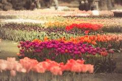 Φιλτραρισμένος και η εικόνα των τουλιπών άνοιξη σε έναν κήπο στοκ εικόνες με δικαίωμα ελεύθερης χρήσης