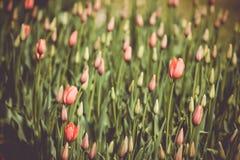 Φιλτραρισμένος και η εικόνα των τουλιπών άνοιξη σε έναν κήπο στοκ εικόνες