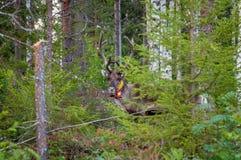 Φινλανδία Ελάφια με ένα ΠΣΤ-περιλαίμιο Το αναγνωριστικό σήμα ΠΣΤ χρησιμοποιείται για την εγγραφή ελαφιών και τις πληροφορίες θέση στοκ εικόνες