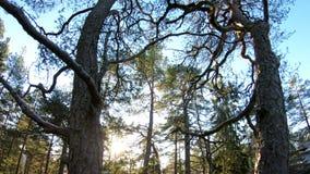 Φινλανδικό δάσος τον πρώιμο χειμώνα απόθεμα βίντεο
