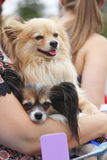 Φιλία και δύο μικρά σκυλιά Στοκ Φωτογραφίες