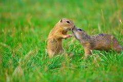 φιλί Αγάπη του ζεύγους σκιούρων Οι επίγειοι σκίουροι φιλούν στο λιβάδι Το ζώο απολαμβάνει Valentine& x27 ημέρα του s στοκ φωτογραφία