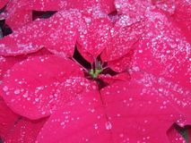 Φιλημένο βροχή Poinsetta στοκ φωτογραφίες