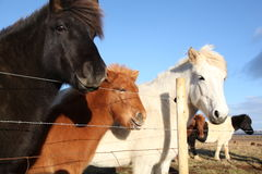 Φιλικά ισλανδικά άλογα και πόνι Στοκ εικόνα με δικαίωμα ελεύθερης χρήσης