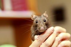 Φιλικός καφετής αρουραίος κατοικίδιων ζώων στο ανθρώπινο χέρι, ζώα στο σπίτι Στοκ εικόνα με δικαίωμα ελεύθερης χρήσης