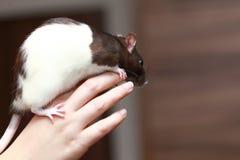 Φιλικός καφετής αρουραίος κατοικίδιων ζώων στο ανθρώπινο χέρι, ζώα στο σπίτι Στοκ φωτογραφία με δικαίωμα ελεύθερης χρήσης