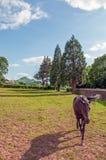 Φιλικό άλογο που περπατά σε ένα λιβάδι στη βρετανική επαρχία Στοκ Εικόνες