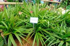 Φιλιππινέζικο επίγεια ορχιδέα ή Spathoglottis Plicata Στοκ φωτογραφίες με δικαίωμα ελεύθερης χρήσης