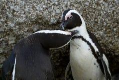 Φιλώντας αφρικανικά penguins Στοκ Εικόνα