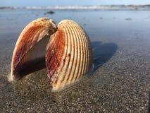 Φιλώντας θαλασσινό κοχύλι Στοκ Εικόνες