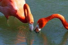 φλαμίγκο πουλιών μεγαλύ&ta Στοκ Φωτογραφίες