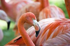 φλαμίγκο πουλιών Στοκ Φωτογραφίες